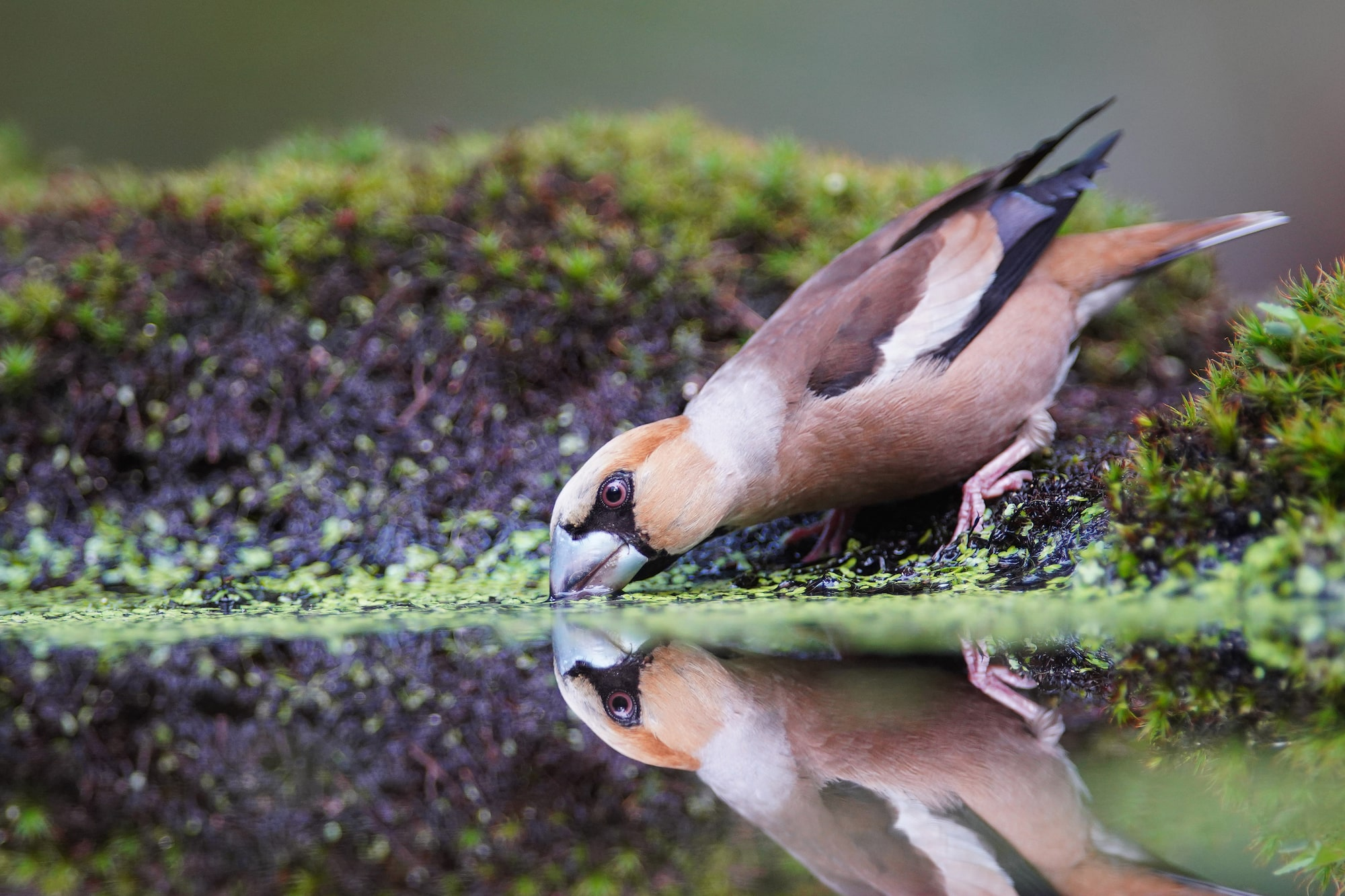 gustav kiburg sony alpha 7RM4 bird drinks from a forest pond